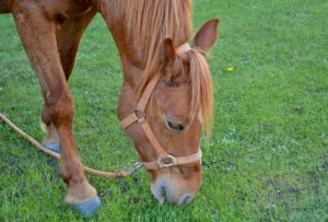 How to Stop a Horse From Grazing While Riding | Equine Helper