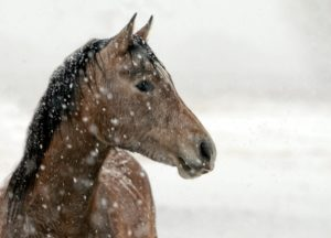 How to Tell if Horse is Cold