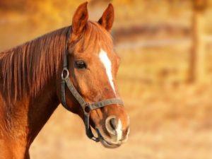 Horse Travel Trailer