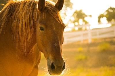 Sunburn in Horses Treatments and Symptoms