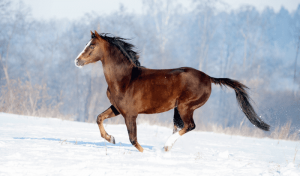 Horse Breeds Found In the US