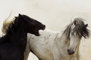 Horse biting out of agression