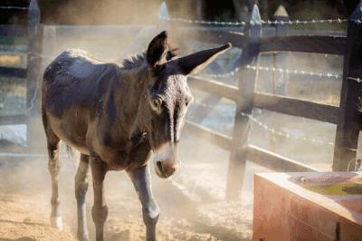 hinny vs mule