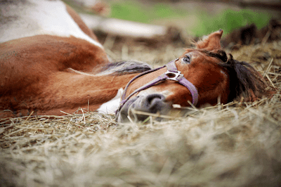 Horse Sleeping Laying Down