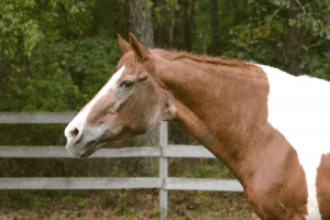 What age should a horse stop being ridden?