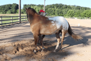 girl making horse disengage its hind end