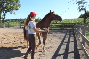 Training a horse to yield to pressure