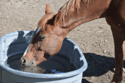 how a horse drinks water