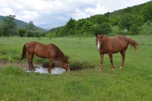 wild horse drinking water