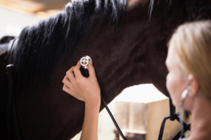 Trained horse vet with mare in heat