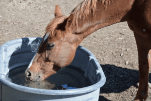 horse drinking from water trough